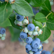 Blueberry vine